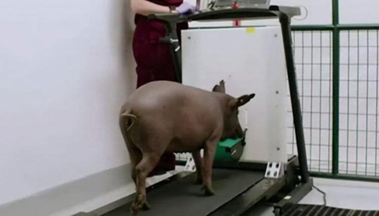 Neuralink's pig Gertrude was the star of the demo. Neuralink YouTube demo