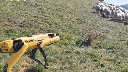 Wool means robot in Rocos' video of a Boston Dynamics Spot unit herding sheep. Image: Rocos